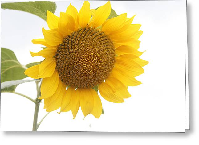 Yellow Leaves Greeting Cards - Sunflower Salutation  Greeting Card by Nomad Art And  Design