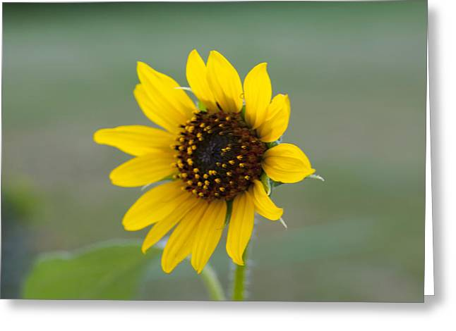 Garden Jewelry Greeting Cards - Sunflower Greeting Card by Sarah Pacheco