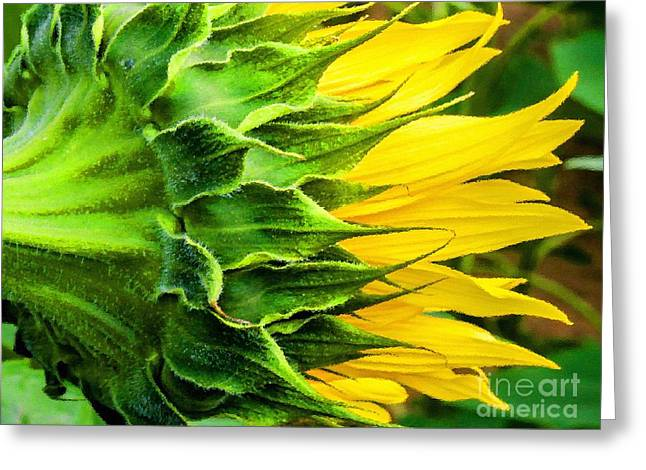 Shabbychic Greeting Cards - Sunflower. Greeting Card by ShabbyChic fine art Photography