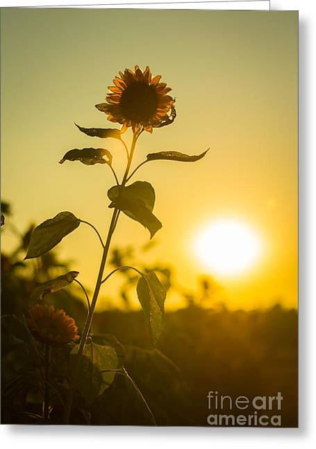 Sunflower Patch Greeting Cards - Sunflower Silhouette Greeting Card by Alissa Rosenberg