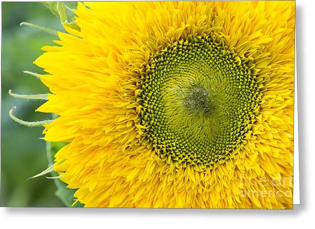 Natural Pattern Greeting Cards - Sunflower Superted Greeting Card by Tim Gainey