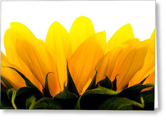 Yellow Sunflower Pyrography Greeting Cards - Sunflower1 Greeting Card by Olga Photography