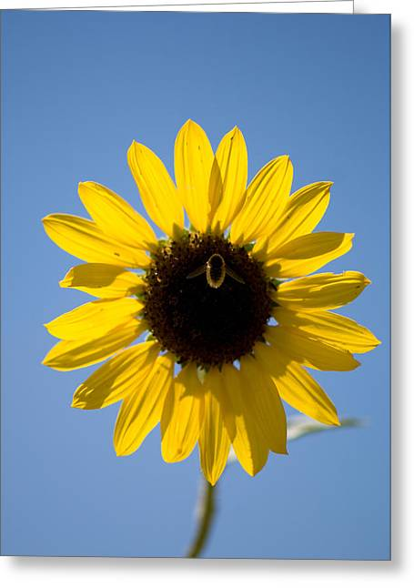 Sunflowers And Bumble Bees In Eastern Greeting Card by Joel Sartore