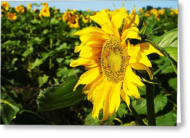 Close Focus Nature Scene Greeting Cards - Sunflowers Greeting Card by Donald  Erickson