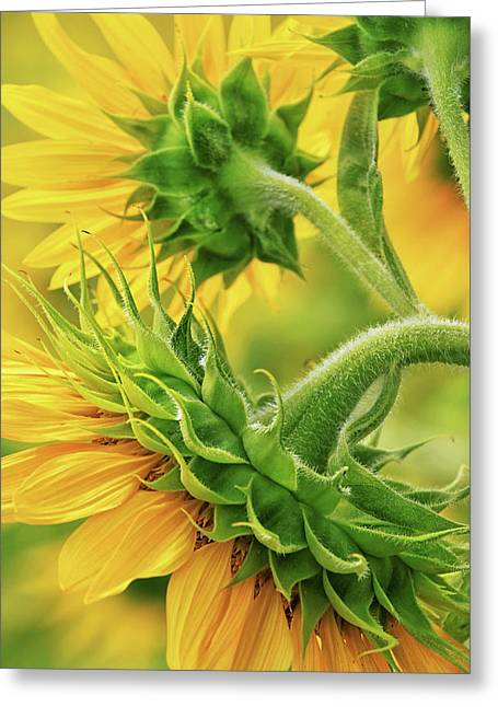 Sunflowers Every Which Way Greeting Card by Carolyn Derstine
