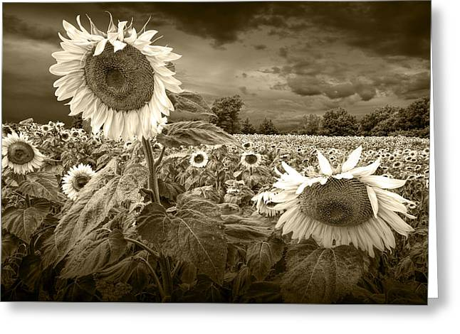 Randy Greeting Cards - Sunflowers in Sepia Tone Greeting Card by Randall Nyhof
