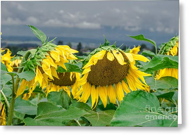 Garden Scene Greeting Cards - Sunflowers On A Rainy Day Greeting Card by Michelle Meenawong