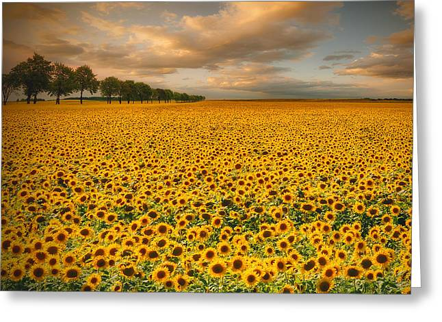 Poland Greeting Cards - Sunflowers Greeting Card by Piotr Krol (bax)