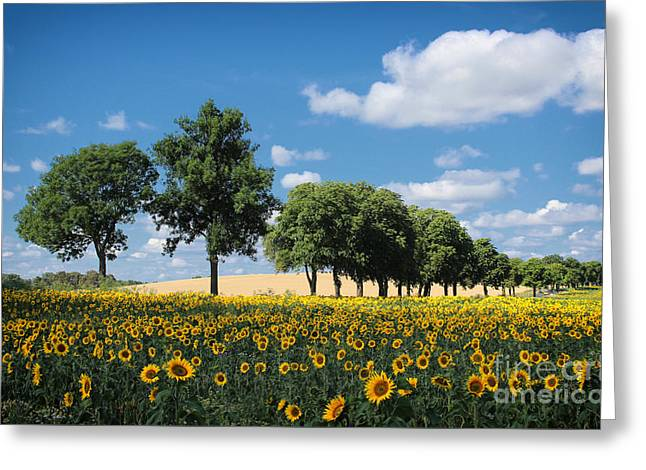 Sunset Abstract Photographs Greeting Cards - Sunflowers Greeting Card by SK Pfphotography