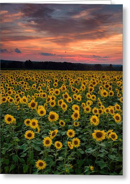 Griswold Connecticut Greeting Cards - Sunflowers to the Sky Greeting Card by Michael Blanchette
