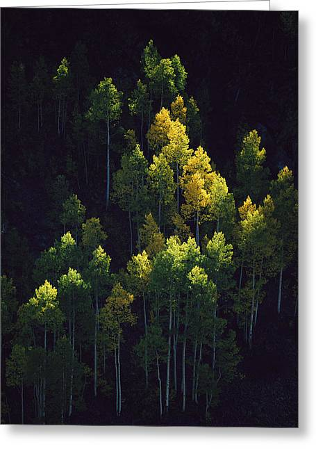 Light And Dark Greeting Cards - Sunlight Highlights Aspen Trees Greeting Card by Melissa Farlow