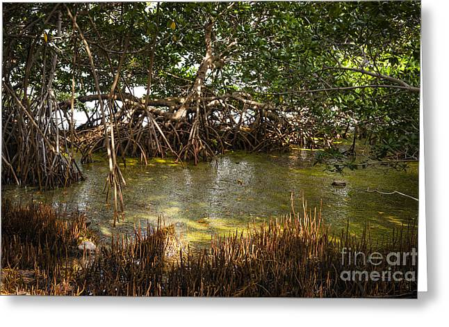 Mangrove Forests Greeting Cards - Sunlight in mangrove forest Greeting Card by Elena Elisseeva