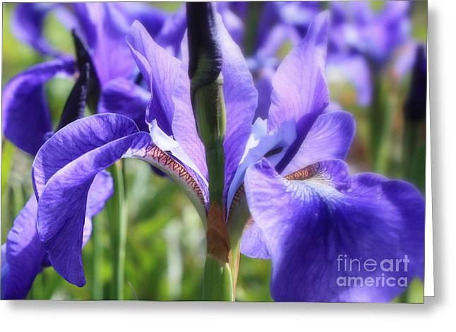 Sunlight on Blue Irises Greeting Card by Carol Groenen