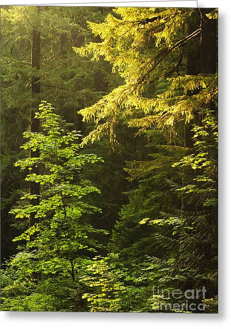 Backlit Greeting Cards - Sunlight on Evergreen Trees Greeting Card by Greg Vaughn - Printscapes