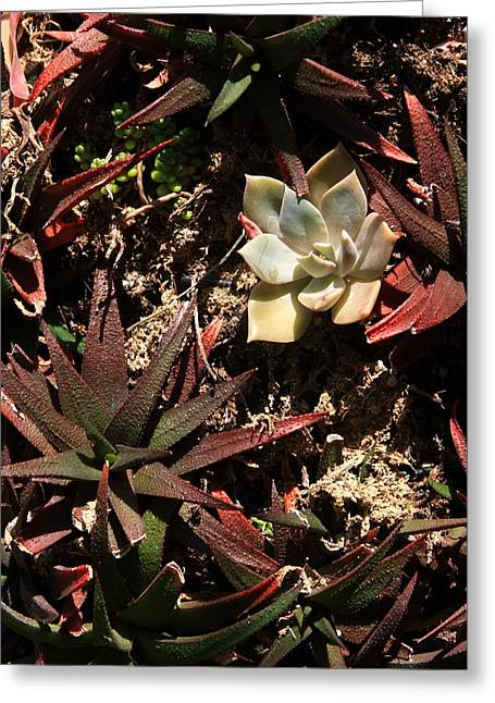 Fleshy Greeting Cards - Sunlight on Succulents Greeting Card by Lyle Hatch