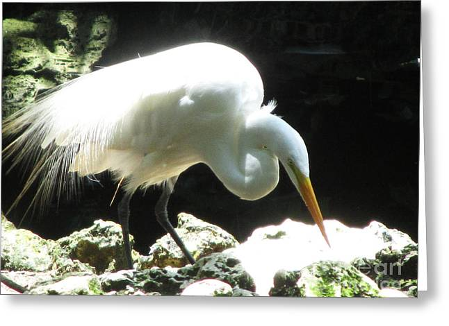 Sea Animals Greeting Cards - Sunlit Egret Greeting Card by Sharon Nelson-Bianco