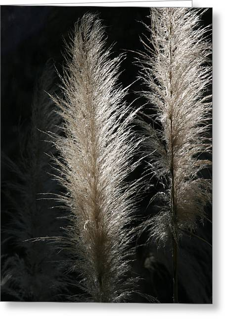 Pampas Grass Greeting Cards - Sunlit Pampas Grass Greeting Card by Tony Brown