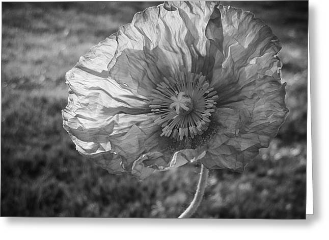 Sunlit Poppy Bw Greeting Card by Chalet Roome-Rigdon