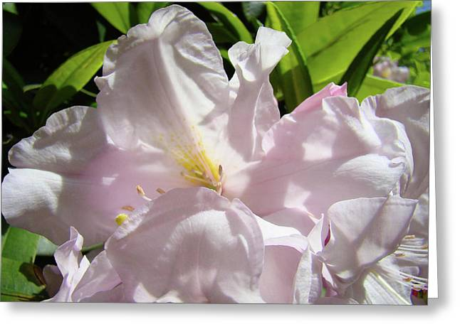 Sunlit Rhododendron Flowers Art Prints Floral Baslee Troutman Greeting Card by Baslee Troutman