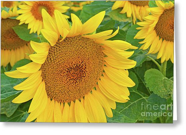 Sunflower Patch Greeting Cards - Sunloving Sunflowers Greeting Card by Regina Geoghan