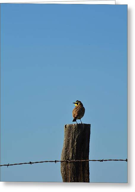 Horned Larks Greeting Cards - Sun Bathing  Greeting Card by Tammie McKinnon