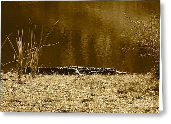 Florida Pond Greeting Cards - Sunning Gator Greeting Card by Carol Groenen