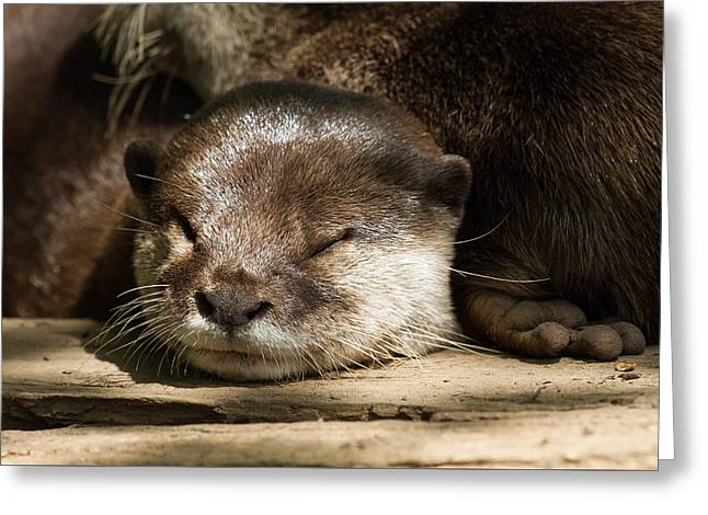 Eye Of Heaven Greeting Cards - Sunning Otter Greeting Card by Cindy Archbell