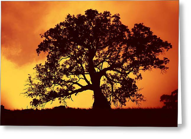 Eucalyptus Greeting Cards - Sunrise Gum Greeting Card by Mike  Dawson
