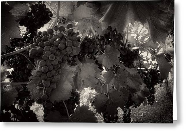 Purple Grapes Greeting Cards - Sunrise In The Vineyard in Black and White Greeting Card by Greg Mimbs