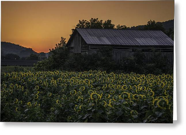 Tennessee Farm Greeting Cards - Sunrise Sunflowers Greeting Card by Griffey