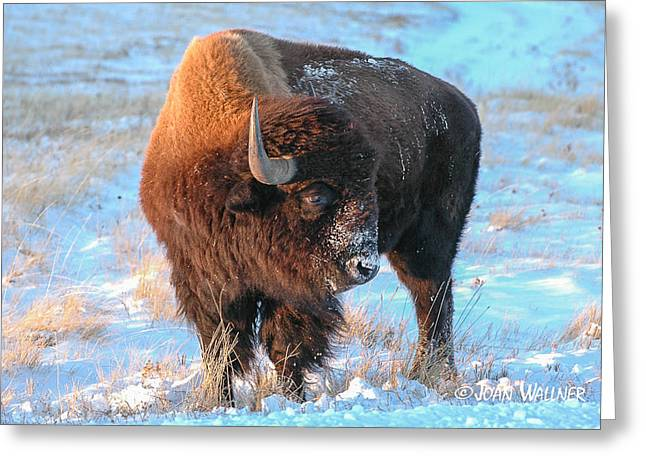 Grazing Snow Greeting Cards - Sunset Bison Greeting Card by Joan Wallner