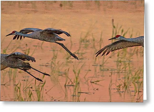 Sandhill Cranes Greeting Cards - Sunset Landing Greeting Card by Larry Linton