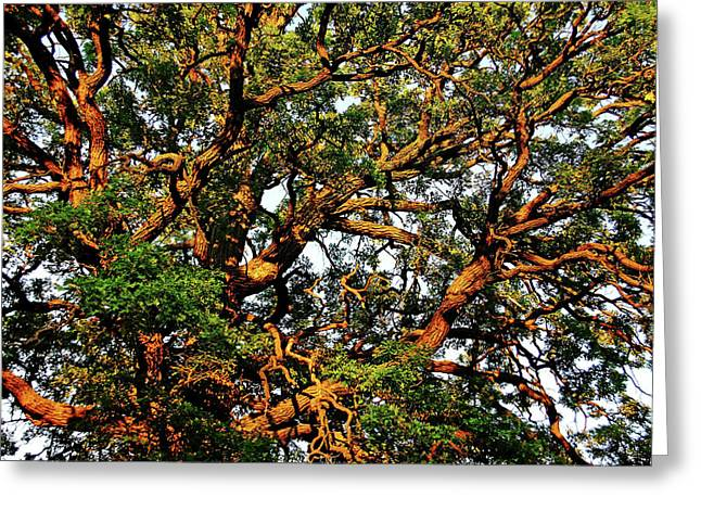 Sunset Oak Greeting Card by Debbie Oppermann