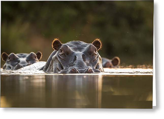 Hippos Greeting Cards - Sunset Pool Greeting Card by Hillebrand Breuker