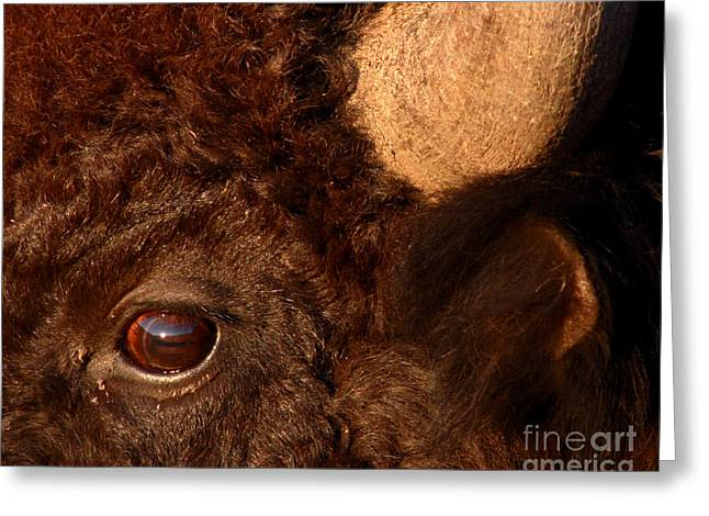 Sunset Reflections In The Eye Of A Buffalo Greeting Card by Max Allen
