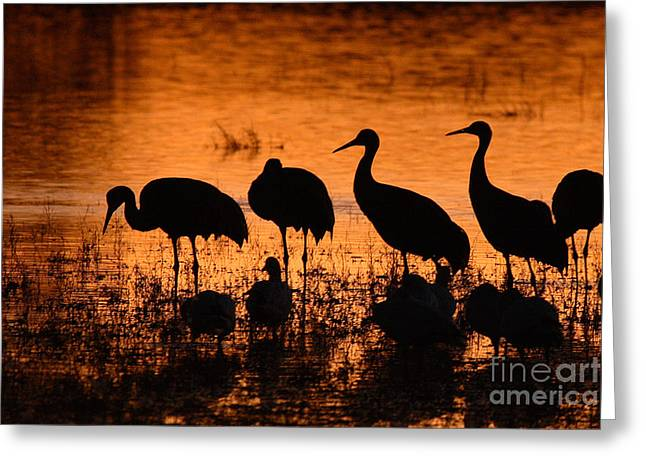 Sandhill Cranes Greeting Cards - Sunset Reflections Of Cranes And Geese Greeting Card by Max Allen