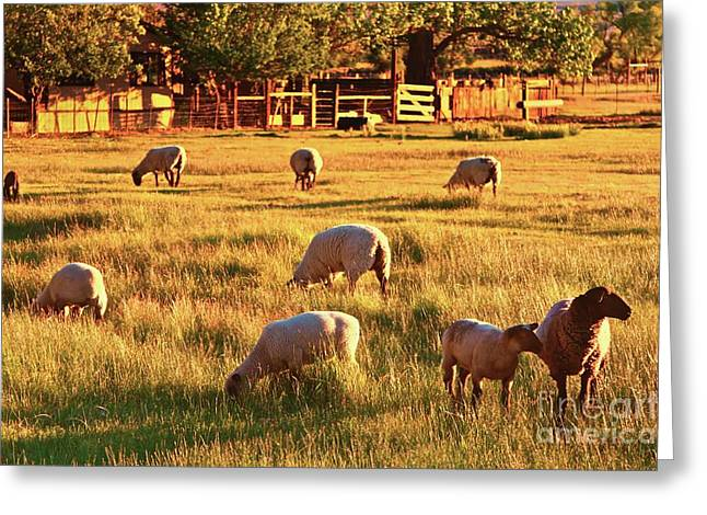 Ranch Digital Art Greeting Cards - Sunset Sheep Ranch Greeting Card by Gus McCrea