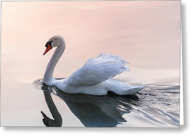 Reflecting Water Greeting Cards - Sunset swan Greeting Card by Elena Elisseeva