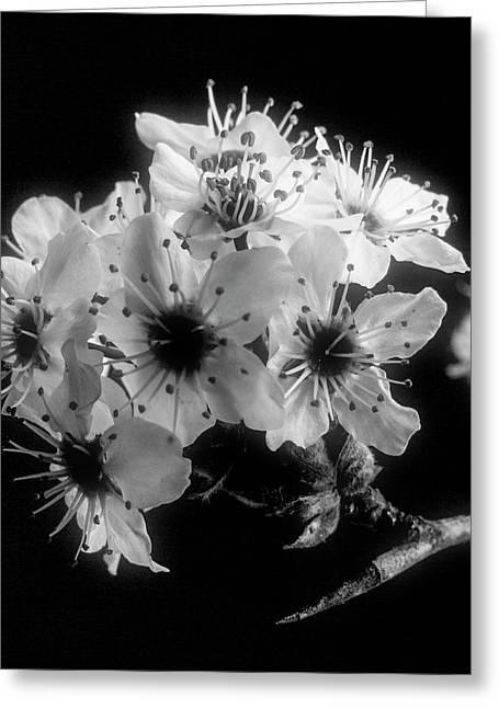 Sunset Wild Plum Blooms 5529.01 Greeting Card by M K  Miller