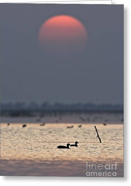 Sunset With Coots Greeting Card by Hitendra SINKAR