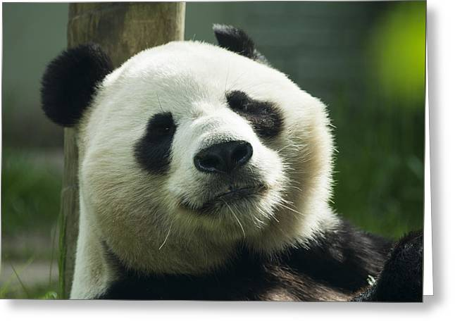 Sunshine The Panda  Greeting Card by Rob Hawkins