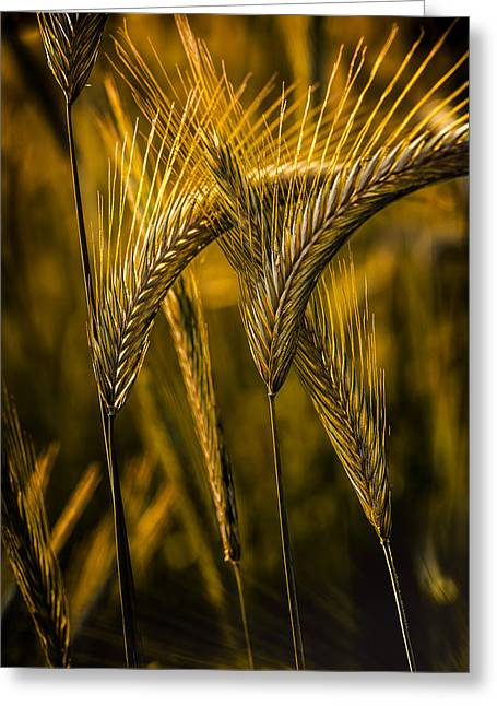 Cut-outs Greeting Cards - Sunshine Through Cornfield Greeting Card by Mah FineArt