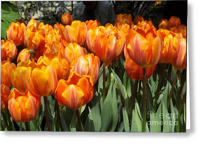 Spring Bulbs Greeting Cards - Sunshine Tulip Blossoms Greeting Card by Lingfai Leung