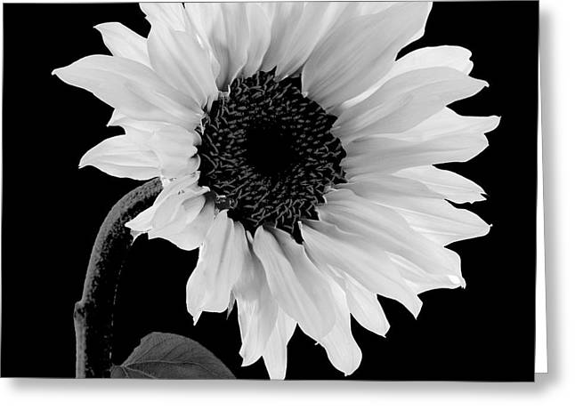 White Paintings Greeting Cards - Sunwashed Greeting Card by Mindy Sommers