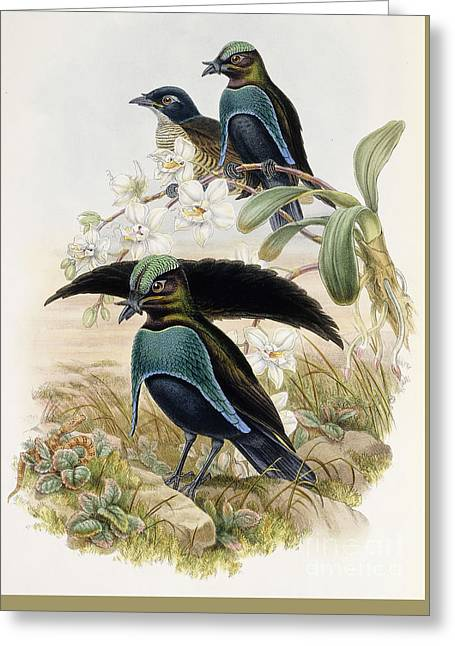 Superb Bird Of Paradise  Greeting Card by John Gould