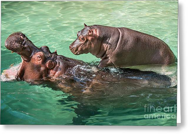 Backlit Greeting Cards - Surfing Baby Hippo Greeting Card by Jamie Pham