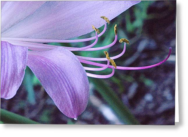 Surprise Greeting Cards - Surprise Lily in Early Morning 2 Greeting Card by Douglas Barnett