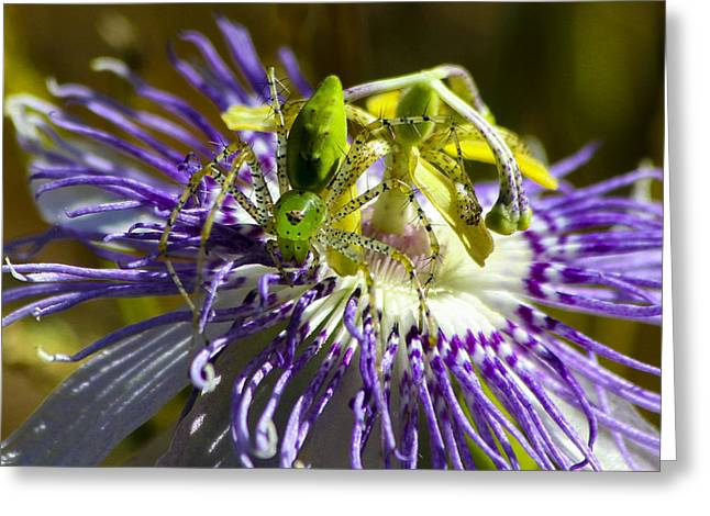 Surprise Passion Green Lynx Spider Greeting Card by Reid Callaway