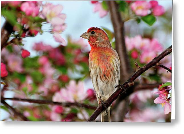 House Finch Greeting Cards - Surrounded Greeting Card by Betty LaRue
