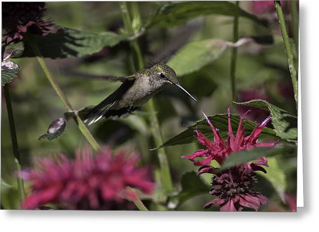 Ruby Throated Hummingbird Greeting Cards - Suspended Greeting Card by Everet Regal